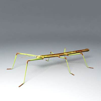 Photorealistic 3D model of a stick insect