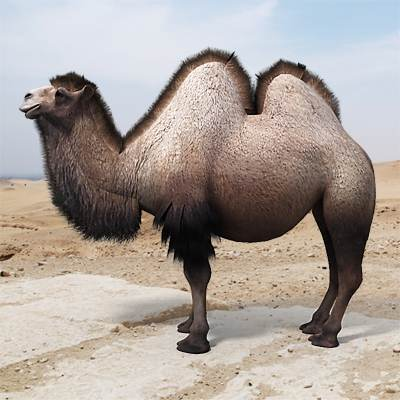 A photorealistis 3D model of a Bactrian Camel