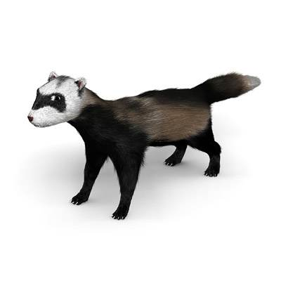 The 3D model of a cute ferret