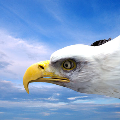 3D model of a Bald eagle