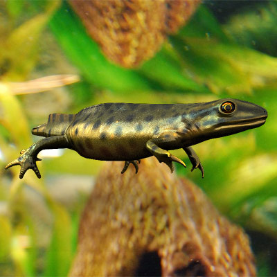 3D model of a Green Smooth Newt