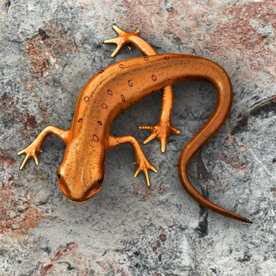 3D model of a Red-Spotted Newt