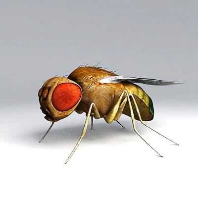 Photorealistic 3D model of a Drosophila (fruitfly)