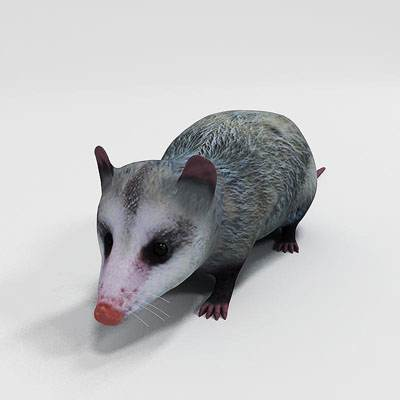 Nice and photorealistic 3D model of opossum