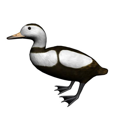 3D model of the Labrador Duck