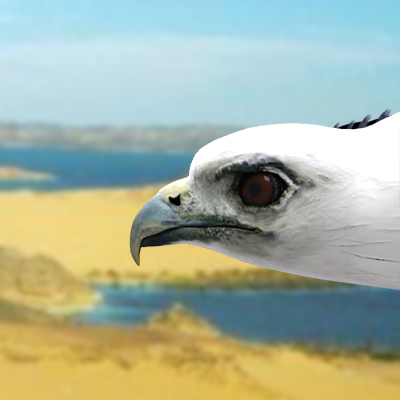 3D model of a White-bellied sea eagle