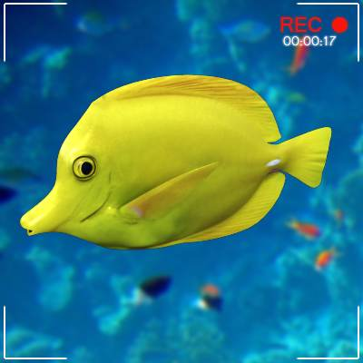 The 3D model of a Bright yellow tang