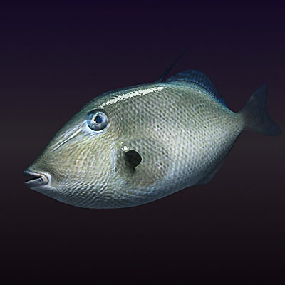3D model of Triggerfish