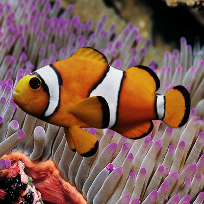 The 3D model of a Clown fish