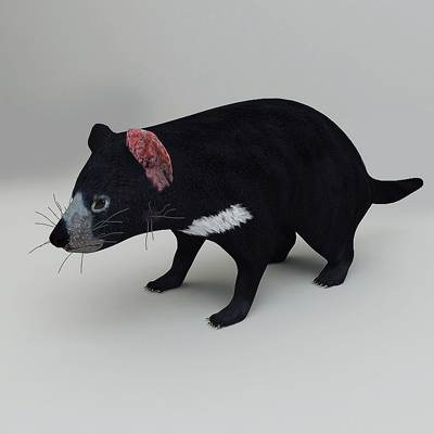 Nice and photorealistic 3D model of a Tasmanian devil