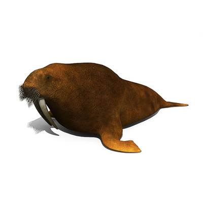 The 3D model of a Nice walrus