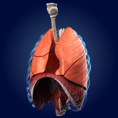 model: 3D Human lungs anatomy-animated