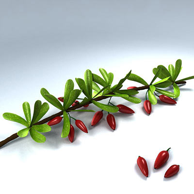 3D model of Berberis